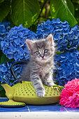 Chaton tigré gris sur une théière jaune et hortensias bleus