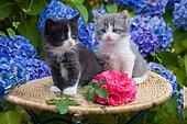 Kittens sitting on wicker table by rose and hydrangeas in garden