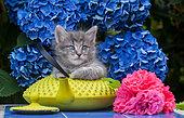 Gray tabby kitten sitting on yellow teapot by hydrangeas in garden