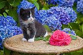 Tuxedo kitten sitting on wicker table by rose and hydrangeas in garden