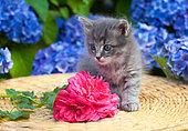 Tabby gray kitten sitting on wicker table by rose and hydrangeas in garden