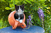 Tuxedo kitten coming out of orange tipped pot on blue table by wisteria in garden
