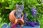 Gray tabby kitten coming out of orange tipped pot on blue table by wisteria in garden