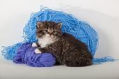 Tabby and white kitten sitting on blue wool in studio