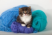 Tabby and white kitten sitting on green and blue wool in studio