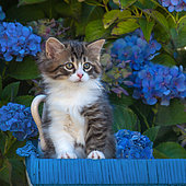 Tabby and white kitten sitting among hydrangeas in garden