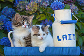 Tabby and calico kittens standing by a milk pot among hydrangeas in garden