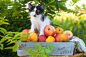 Tuxedo kitten sitting in basket of apples by foliage in garden