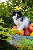 Tuxedo kitten sitting in basket of apples by foliage in garden
