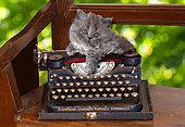 Gray kitten sitting on old Underwood standard portable typewriter on wood bench in garden