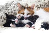 Calico cat holding tuxedo kitten laying on blanket in studio