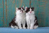 Tuxedo kittens sitting on blue rug in studio