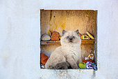 Blue point kitten sitting with apple in white wall alcove