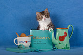 Tabby and white kitten sitting in old blue cookie tin box by green coffee pot and mug in studio