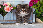 Tabby and white Kitten in a blue wooden heart with roses in the garden