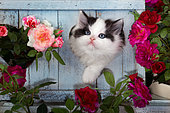Kitten in a blue wooden heart with roses in the garden