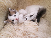 Calico kitten laying on sheepskin rug in studio