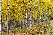 White birch (Betula papyrifera) in autumn, white birch forest, Chics-Chocs Mountains, Haute-Gaspésie National Park, Quebec, Canada