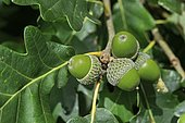 Acorns of the Downy Oak or Pubescent Oak (Quercus pubescens), Alsace, France, Europe