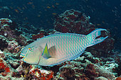 Indian Steephead Parrotfish, Scarus strongylocephalus, North Male Atoll, Indian Ocean, Maldives