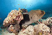 Giant Morays (Gymnothorax javanicus), North Male Atoll, Indian Ocean, Maldives