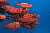 Shoal of Crescent-tail Bigeye (Priacanthus hamrur), North Male Atoll, Indian Ocean, Maldives