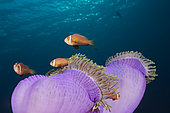 Poisson-clown des Maldives (Amphiprion nigripes) sur Anémone de mer magnifique (Heteractis magnifica), Atoll de Malé Sud, Océan Indien, Maldives