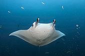 Reef Manta Ray (Manta alfredi), Ari Atoll, Indian Ocean, Maldives