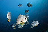 Shoal of Longfin Batfish (Platax teira), Ari Atoll, Indian Ocean, Maldives