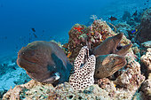 Giant Moray and Honeycomb Moray, Gymnothorax javanicus, Gymnothorax favagineus, North Male Atoll, Indian Ocean, Maldives