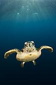Hawksbill Sea Turtle (Eretmochelys imbricata), South Male Atoll, Indian Ocean, Maldives