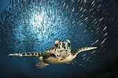 Tortue imbriquée (Eretmochelys imbricata), Atoll de Malé Sud, Océan Indien, Maldives