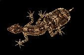 Central Queensland leaf-tailed gecko (Saltuarius salebrosus)