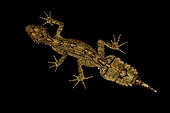 Border Ranges leaf-tailed gecko (Saltuarius swaini)