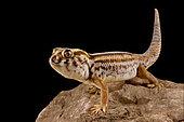 Persian wonder gecko (Teratoscincus keyserlingii)