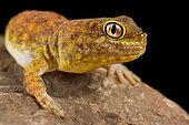 Koch's Chirping Gecko (Ptenopus kochi)