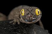 Western spiny-tailed gecko (Strophurus spinigerus)
