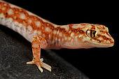 Beaded gecko (Lucasium damaeum)