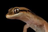Giant stone gecko (Diplodactylus granariensis rex)