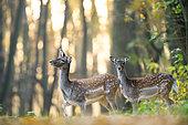 Fallow deer (Dama dama) in morning, Slovakia