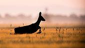 Roe Deer (Capreolus capreolus) in morning, Slovakia