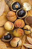 Chinese horse chestnut (Aesculus chinensis) fruits