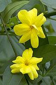 Jasminum primrose (Jasminum mesnyi) flowers