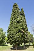 Mediterranean cypress (Cupressus sempervirens), Parque Eduardo VII, Lisdon, Portugal