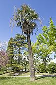 Mexican blue palm (Brahea armata), Parque Eduardo VII, Lisdon, Portugal