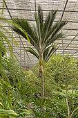 Nikau palm (Rhopalostylis sapida), Estufa Fria, Lisbonne, Portugal