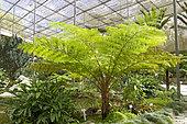 Australian tree fern (Cyathea cooperi), Estufa Fria, Lisbonne, Portugal