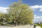 South nettle tree (Celtis australis), Eduardo VII park, Lisbon, Portugal