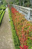 Paper-flower (Bougainvillea glabra), Ajuda botanic garden, Lisbon, Portugal