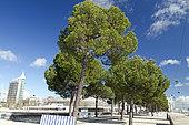 Stone pine (Pinus pinea), Park of Nations, Lisbon, Portugal